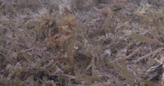 Juvenile Striped pufferfish feeding on mixed algae and seagrass muck on sand, Stock Footage
