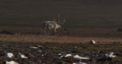 Telephoto dolly of male caribou walking - stock footage