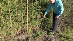 Gardener hands cut fir tree hedge with red secateurs. 4K Stock Footage