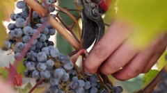 Close up shot of workers gathering ripe grapes. - stock footage