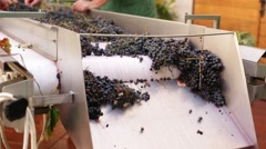 Conveyor transporting bunches of grapes. Stock Footage