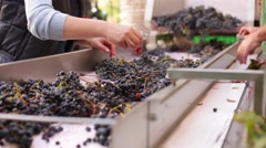 Manually partition of grapes on the conveyor line at a winery - stock footage