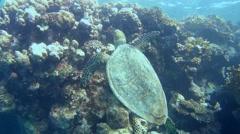 Hawksbill sea turtle (Eretmochelys imbricata) Stock Footage