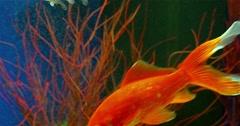 Goldfish Swimming In Freshwater Aquarium - stock footage