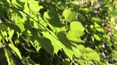 Basewood tree in sun Stock Footage
