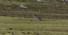 Young caribou in velvet grazes in mossy meadow - stock footage