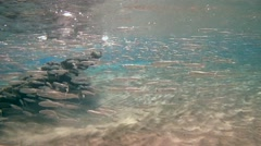 A large school of fish hardyhead silverside (Atherinomorus lacunosus) Stock Footage
