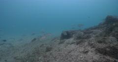 Subadult Moses perch swimming under a wharf, Lutjanus russellii, 4K UltraHD, Stock Footage