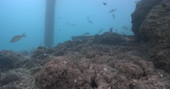 Moses perch swimming under a wharf, Lutjanus russellii, 4K UltraHD, UP34089 Stock Footage