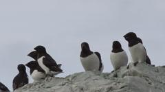 Little auks sitting on some rocks Stock Footage