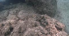 Juvenile Longfin bannerfish feeding on rock wall, Heniochus acuminatus, 4K Stock Footage