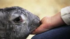 Pet little girl feeding gray rabbit Stock Footage