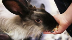 Little girl feeding rabbit from the palm Stock Footage