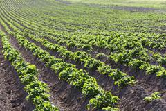 Potato field. close-up Stock Photos