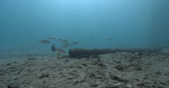Subadult Moses perch waiting to be cleaned and schooling under a wharf, Lutjanus Stock Footage