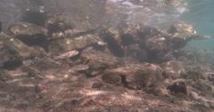 Common toadfish hovering on rock wall, Tetractenos hamiltoni, 4K UltraHD, Stock Footage