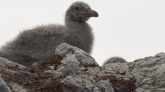 Telephoto of two spotted fluffy glaucus gull chicks on rocky nest Stock Footage