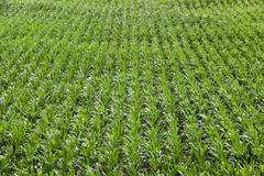 Field with corn - stock photo