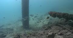 Subadult Moses perch hovering under a wharf, Lutjanus russellii, 4K UltraHD, Stock Footage