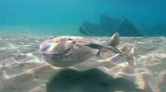 Panther electric ray (Torpedo panthera) Stock Footage