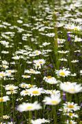 Stock Photo of daisies   spring  season
