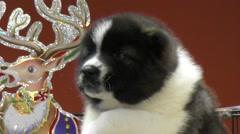 Puppy Caucasian Shepherd Stock Footage