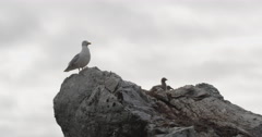Glaucus gull and two chicks atop a rocky outcrop nest in the arctic Stock Footage