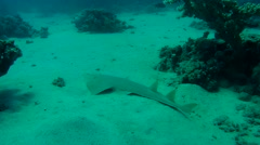 thornback guitarfish(Platyrhinoidis triseriata) Stock Footage