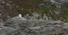 Glaucus gull and two chicks on nest with mossy hillside in background Stock Footage