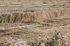 Stock Photo of destroyed by the storm wheat