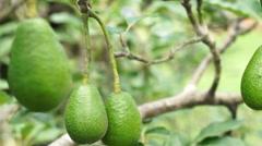 Avocado Tree Fruit Closeup Handheld Stock Footage