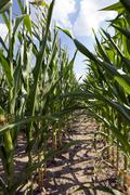 corn field, agriculture - stock photo