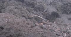 Sharpnose sandperch feeding on rock wall, Parapercis cylindrica, 4K UltraHD, Stock Footage