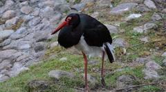 Black Stork, an old specimen in zoological garden Stock Footage