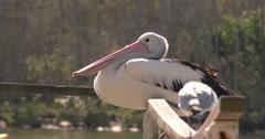 Australian pelican, Pelecanus conspicillatus, 4K UltraHD, UP34222 Stock Footage