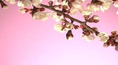 Apricot flower blossoming time lapse on a pink background. Stock Footage