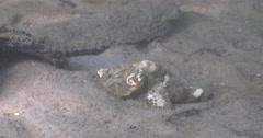 False stonefish ambush predator waiting on silty river bed, Scorpaenopsis - stock footage