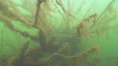 Movement along the underwater tree with branches covered with yellow algae Stock Footage