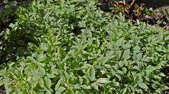 Medical herbs - stock footage