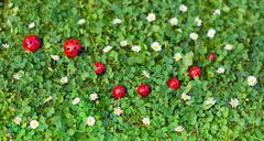 Ladybug toys on a fresh summer lawn with lots of small daisy flowers - stock photo