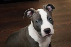 White and Grey Pitbull sitting on brown floor Stock Photos