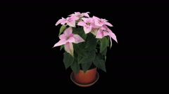 Time-lapse of growing pink poinsettia Christmas flower, RGB + ALPHA matte format Stock Footage