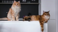 Two big ginger cats on the kitchen table. They are looking at something. Stock Footage