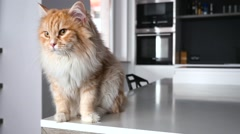 Ginger big cat sitting on the kitchen table and scratching himself. Close up. - stock footage