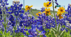 Field of Texas Bluebonnets swinging in the wind Stock Footage