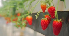Beautiful juicy red strawberry farm in country side of Japan Stock Footage