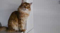 Ginger big cat looking around. Close up. Stock Footage