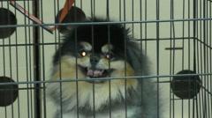 Dog breeds of Spitz Stock Footage