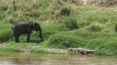 African Elephant eating grass Stock Footage