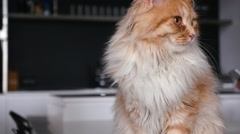 Ginger big cat looking around. Close up. - stock footage